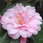 Camellia x williamsii 'Exaltation'