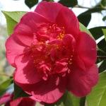 Camellia japonica 'Extravaganza Pink'
