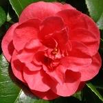 Camellia japonica 'Feodora'