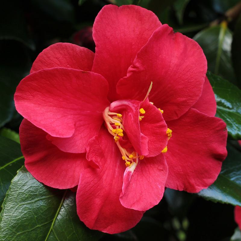 Camellia japonica 'Flame'