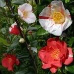 Camellia japonica 'Flashlight'