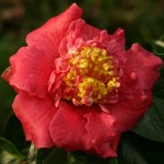 Camellia 'Forty-Niner'