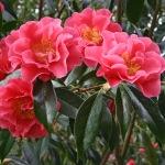 Camellia 'Francie L.'