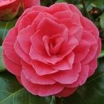 Camellia japonica 'Giuseppina Pieri'