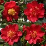 Camellia japonica 'Goshoguruma'