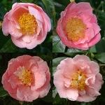 Camellia japonica 'Hanafûki'