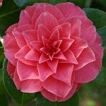 Camellia japonica 'Harriet Beecher Sheather'