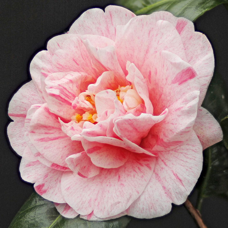 Camellia japonica 'Helenor'