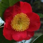 Camellia 'Higo-shagetsu'
