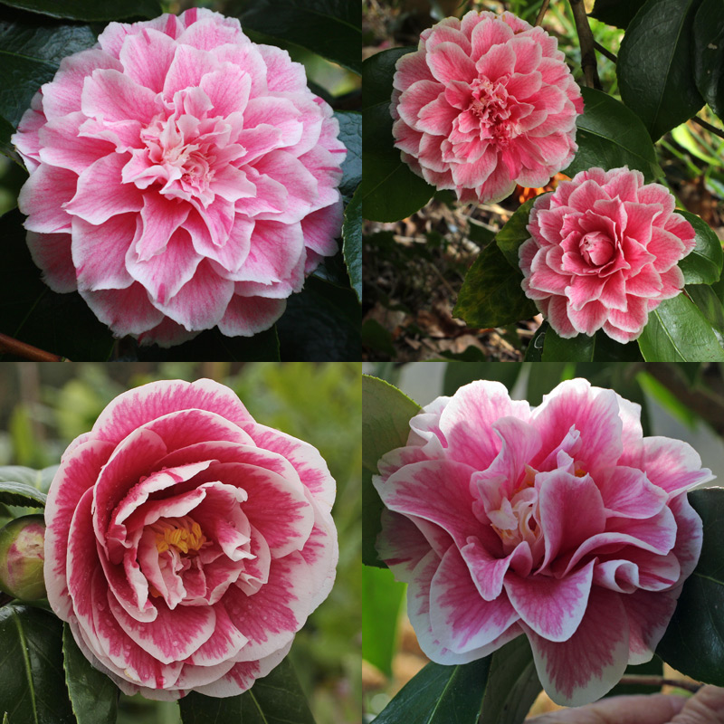 Camellia japonica 'Hikarugenji'