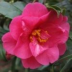 Camellia 'Hilo'