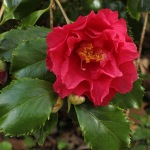Camellia japonica 'Holly Bright'