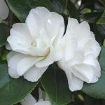 Camellia japonica 'Ice Queen'