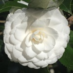 Camellia japonica 'Ivory Tower'