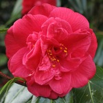Camellia japonica 'J.J. Whitfield'