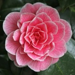 Camellia japonica 'Jean Clere'