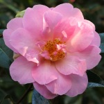 Camellia x williamsii 'Jenefer Carlyon'