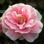 Camellia x williamsii' 'Jennifer Trehane'