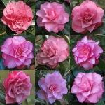 Camellia japonica 'Joe Nuccio'
