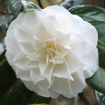 Camellia 'John Hunt'