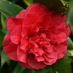 Camellia japonica 'Joseph Pfingstl'