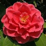 Camellia japonica 'Josephine Hearn'