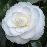 Camellia japonica 'Joshua E Youtz'