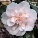Camellia japonica 'Julia France'