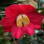 Camellia japonica 'Juno'