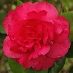 Camellia x williamsii 'Jury's Sunglow'