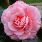 Camellia japonica 'Just Sue'