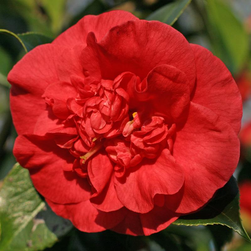 Camellia japonica 'Kilvingtoniana'