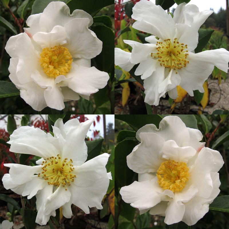Camellia sasanqua 'Kenkyo'