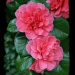 Camellia japonica 'Kenny'