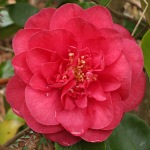 Camellia japonica 'King Size'