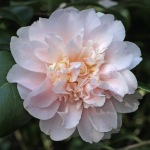 Camellia japonica 'King's Ransom'