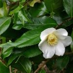 Camellia 'Kingyoba-shiro-wabisuke'