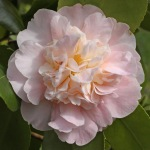 Camellia japonica 'Kitty Berry'