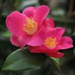 Camellia 'Koto-no-kaori'