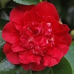 Camellia japonica 'Kramer's Beauty'