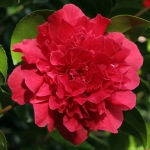 Camellia jaonica 'Kramer's Supreme'