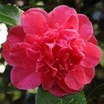 Camellia 'La Genola'