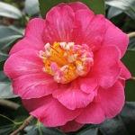Camellia japonica 'Lady Clare'