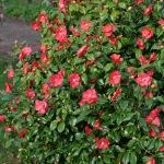 Camellia japonica 'Lady de Saumerez'