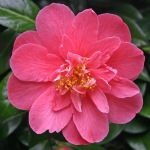 Camellia japonica 'Lady Macon'
