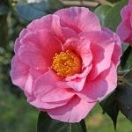 Camellia 'Lasca Beauty'