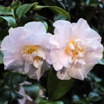 Camellia japonica 'Laurie Bray'