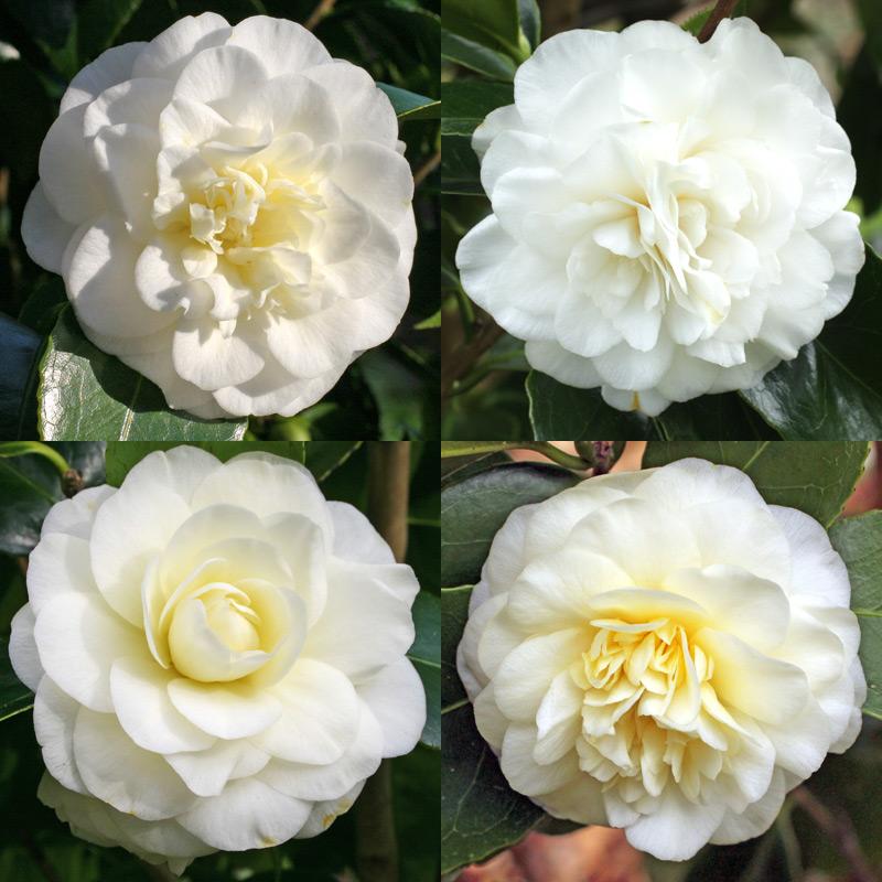 Camellia japonica 'Lemon Drop'