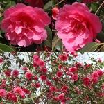 Camellia x williamsii 'Leonara'