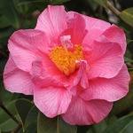 Camellia 'Leonard Messel'